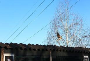 The wild Lesser kestrels love visiting the Rescue Centre!